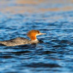 duck alaska bird hummbingbird costarica