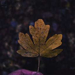 freetoedit autumn autumnleaf leaf closeup