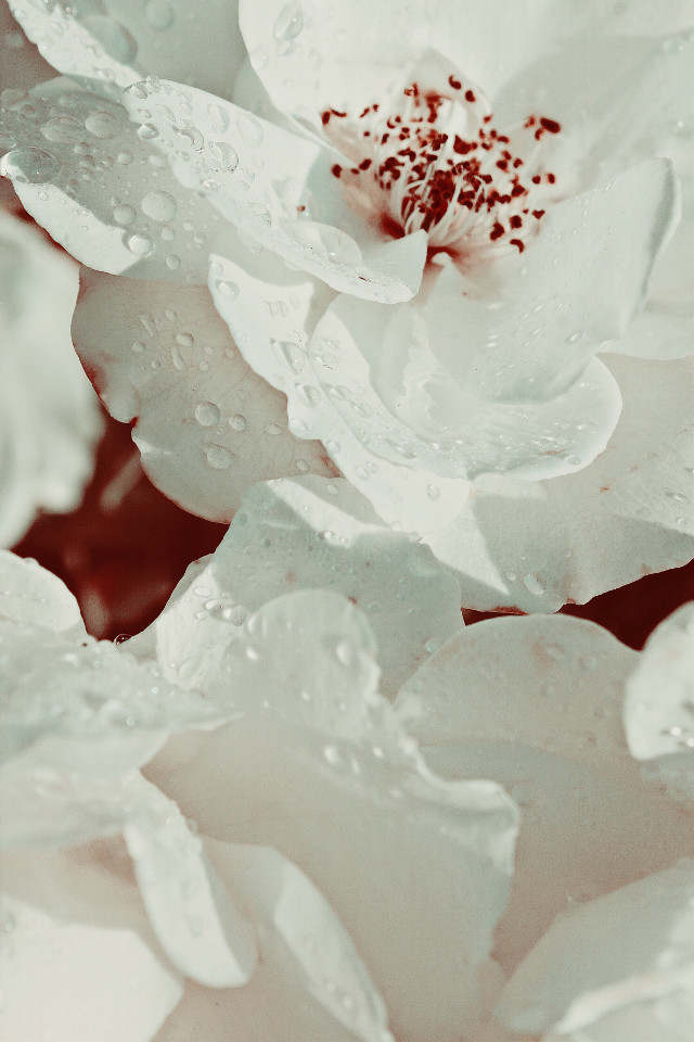 #nature #flowers #roses #naturesbeauty #whiteroses #raindroplets #monotone #mellow_light #closeup #monochromatic #naturephotography                                                                        #freetoedit