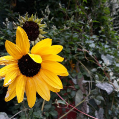 sunflower_girlll