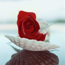 redrose seashell natureelements simpletreasures stilllife freetoedit