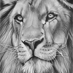 lion drawing took6months