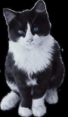 cute cat blueeyes kat freetoedit