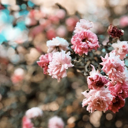 floral flowers roses nature pink