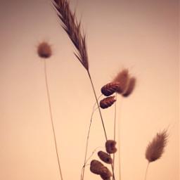nature wildplants simplicity earthytones sunsetwarmcolors freetoedit