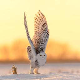 owl snowyowl ice snow hawk