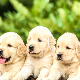 dog dogs puppy cute animals freetoedit