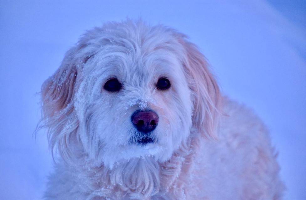 Ivy #AngelEyesImages#dog#dogs#pet#pets#petphotography#dogphotography#nature#naturephotography#snow#winter#autumn#fall#travel#traveler#traveling#travelphotography#picoftheday#nikonus#nikon#canonus#canonusa#beautiful#gorgeous#cute#nose goldendoodle#goldendoodle