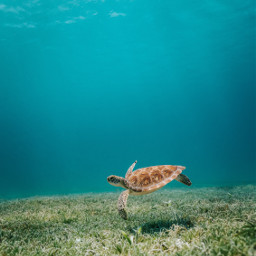 nature turtle underwater background backgrounds freetoedit