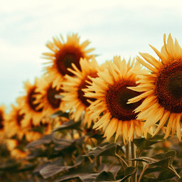 flowers sunflowers nature background backgrounds freetoedit