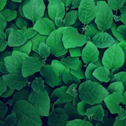 green nature plant background backgrounds freetoedit