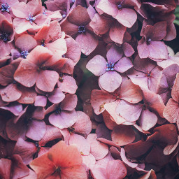 nature flowers hydrangeas waterdroplets closeupshot freetoedit