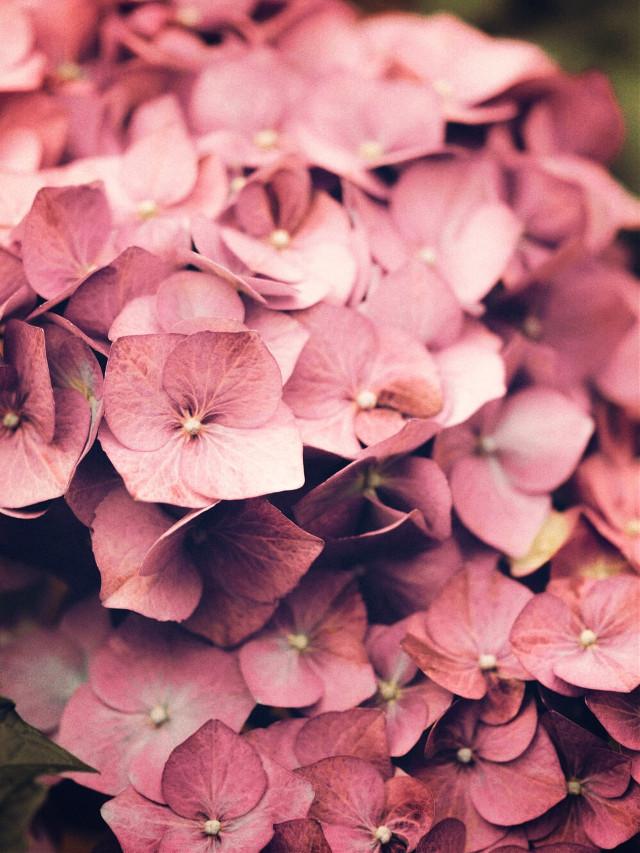#nature #flowers #hydrangeas #naturesbeauty #closeupshot #naturephotography   #freetoedit
