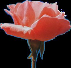rose pinkaestheticstickers flower rosesflower freetoedit