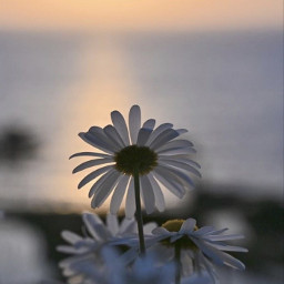 nature lateafternoon flowers daisies seaview freetoedit
