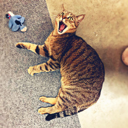 cat freetoedit pcpicsartpets picsartpets createfromhome stayinspired