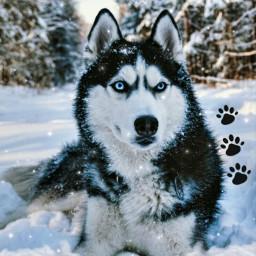 freetoedit dog huskydog husky snow