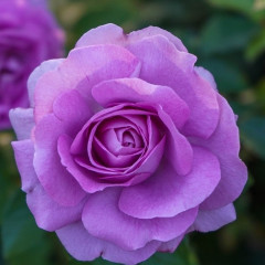 _purple_rose_