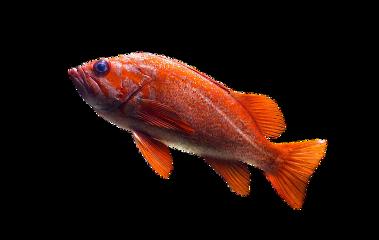 freetoedit fish red orange water