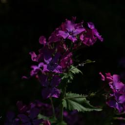 flower flowerphotography plant purpleflower purple