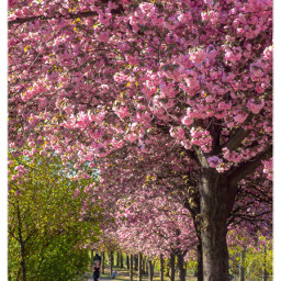 cherryblossom berlin springtime nature freetoedit