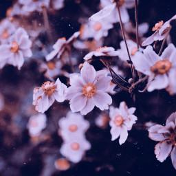 freetoedit flower edited nature springflowers