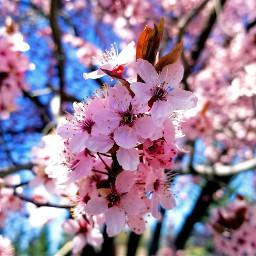 freetoedit flowers nature pink spring