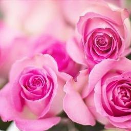 freetoedit roses rosen rose pink