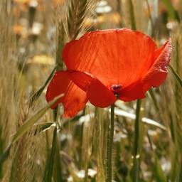 red poppy field spring flower