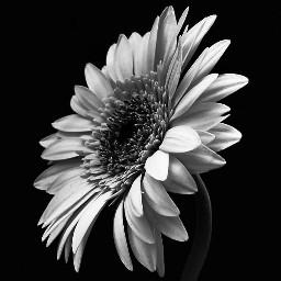 freetoedit photography monochrome daisyflower gerbera