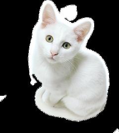 cat kittycat kitty kittens kittylove freetoedit