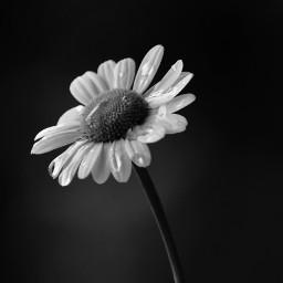 freetoedit daisy daisyflower monochrome raindrop