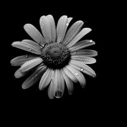 freetoedit photography daisy daisyflower monochrome