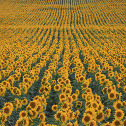 sunflower sunflowers flowers background backgrounds freetoedit