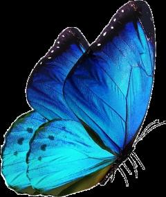butterfly blue bluebutterfly freetoedit