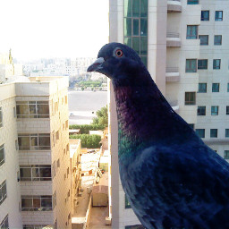 pigeon mywindow mywindowview pcfrommywindow frommywindow
