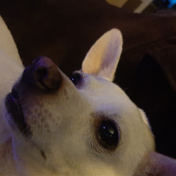 dogs chihuahualover