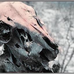 montana skull nature