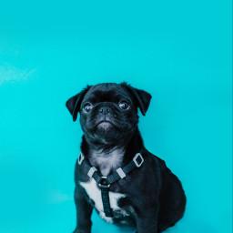 dog dogs pet animal animals freetoedit