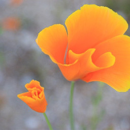freetoedit mohn mohnblume spring orange