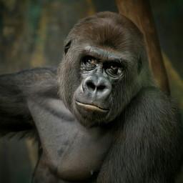 gorilla nature monkey e-go the e
