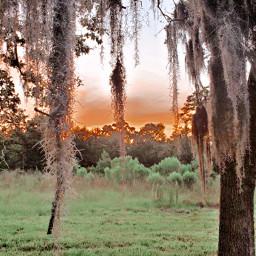 tree moss brnz1filter 4thofjuly sunset freetoedit