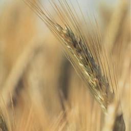 freetoedit photography naturephotography fields wheatfield