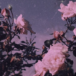 wallpapers roses aesthetic softaesthetic freetoedit rc90sglam