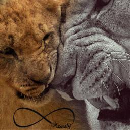freetoedit lion family love fatherandson