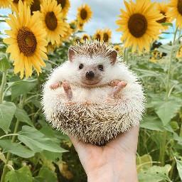 hedgehog cuteanimals cute love sun
