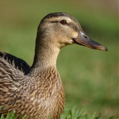 duckeeday