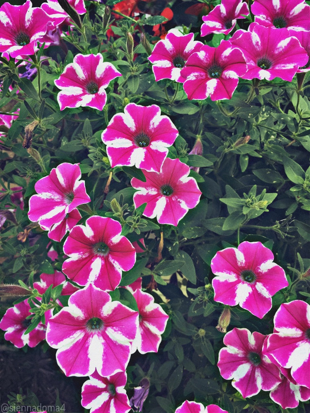 Hi everyone! Here is a picture of some pretty flowers I found, I hope you like them :) By the way, I think I will start posting every other day from now on. I hope that is fine with you! :D  Tags: @nqstiyq @xxjxst_leaxx @marlenee_040 / @marlene_art @artist_noor @dilara_2210 / @cookiedilara- @gweni_120208 @ruyacenik_02 @jennaulin @rachelvbsb88 @avery29 @draw2liv @sienna_the_artist2  @bffs_tumblr  💗💗💗 Go follow them! They are amazing people. :)))  Anyways, I hope you have a wonderful day or night! ✨💫  #flower #flowers #nature #naturaleza #photography #myphoto #minnesota #usa #loveislove #blacklivesmatter #blm   🌼✨💫 👊🏻👊🏼👊🏽👊🏾👊🏿   #freetoedit