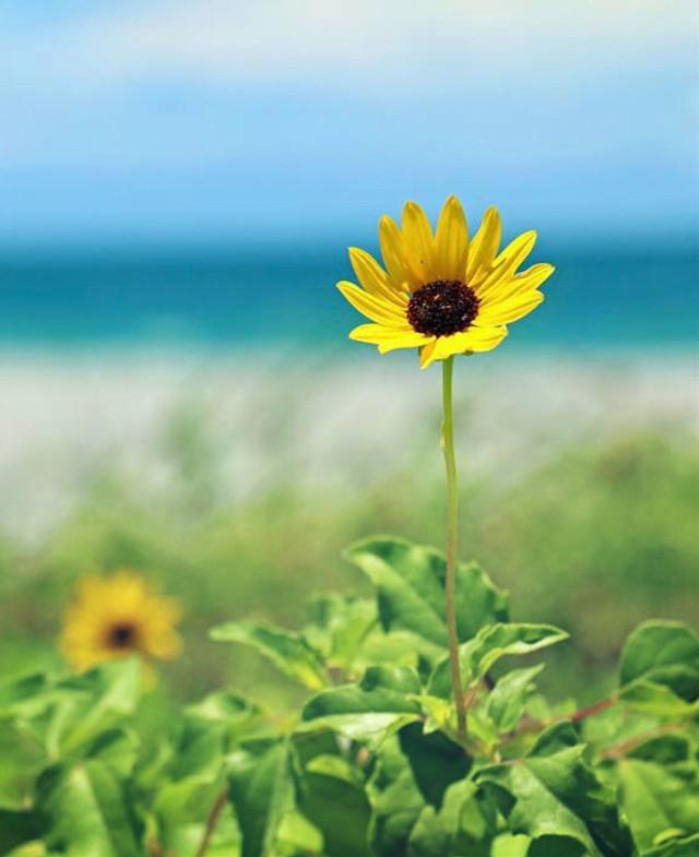 #nature #simple #flowers #dunes #beachdunes #wildflowers #simpleflowers #beachview #bluredbackground #depthoffield #softcontrast #summertime #beachvibes #simplicity #lowangleshot #naturephotography   #freetoedit