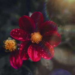 freetoedit floral red redflower drops